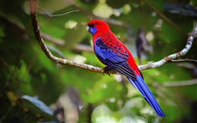Crimson rosella parrot HD wallpaper
