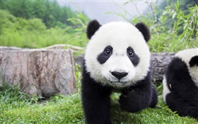 Cute animals, white black colors, panda