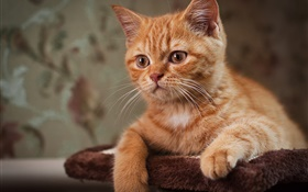 Cute kitten, brown cat HD wallpaper