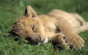 Cute little lion sleep HD wallpaper