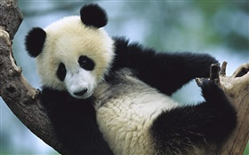 Cute panda HD wallpaper