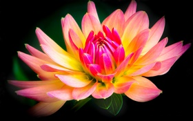 Dahlia, flower close-up, yellow and pink petals HD wallpaper