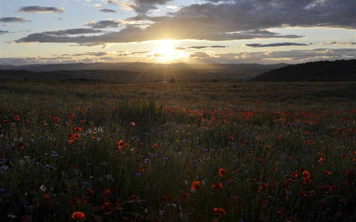 Daisies, cornflowers, poppies, sunset, Scotland, UK Wallpapers Pictures Photos Images