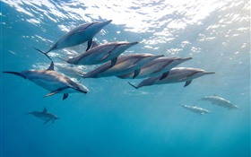 Dolphin, Hawaii, ocean, blue sea