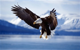 Eagle fly, wings, lake HD wallpaper