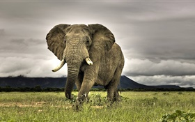Elephant close-up, grass HD wallpaper