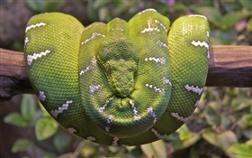 Emerald tree boa HD wallpaper