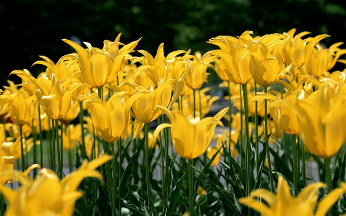 Flower field, yellow tulip Wallpapers Pictures Photos Images