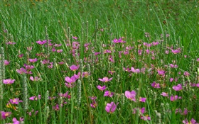 Grass, pink wildflowers HD wallpaper