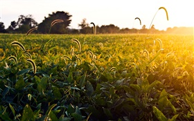 Grassy field, morning, sun, Ohio, USA