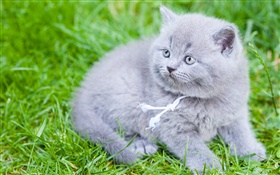 Gray British Shorthair, cat, green grass HD wallpaper