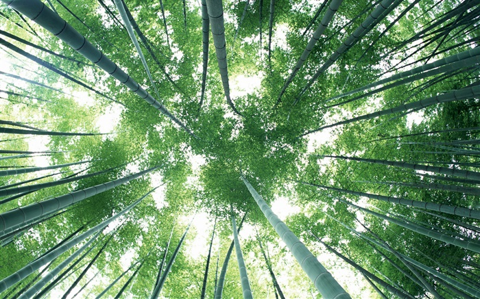 Green bamboo forest, sky, glare Wallpapers Pictures Photos Images