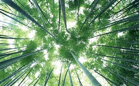 Green bamboo forest, sky, glare HD wallpaper