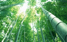 Green bamboo, sun rays HD wallpaper