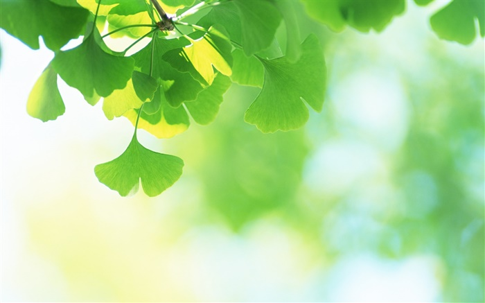 Green ginkgo biloba Wallpapers Pictures Photos Images