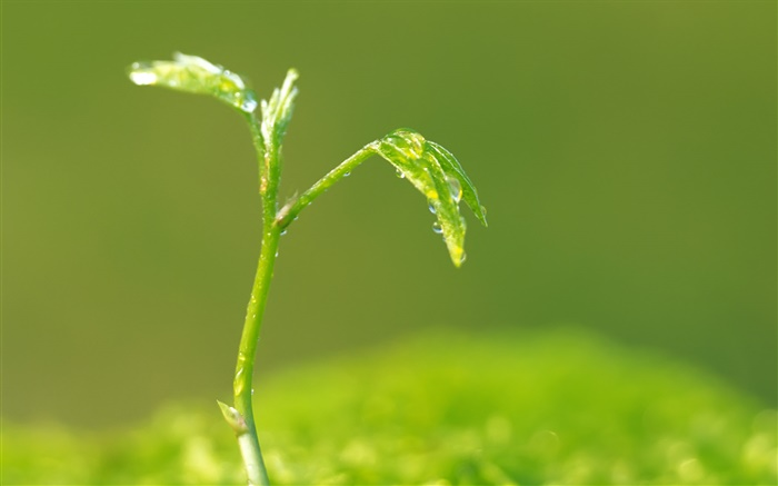 Green leaves, buds, spring, water droplets Wallpapers Pictures Photos Images