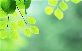 Green leaves, twigs, water drops HD wallpaper