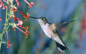 Hummingbird, red flowers HD wallpaper