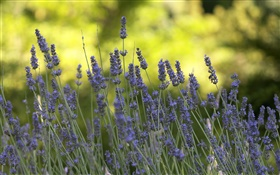 Lavander flowers close-up, bokeh HD wallpaper