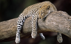 Leopard in the tree HD wallpaper