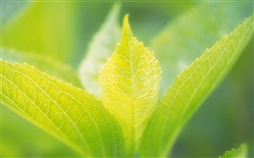 Light green leaves close-up HD wallpaper