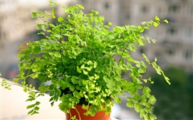 Maidenhair fern, green bonsai HD wallpaper