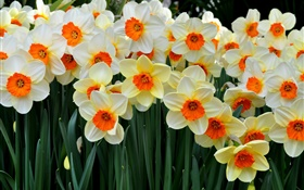 Many daffodils HD wallpaper