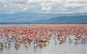 Many flamingos, Lake nakuru National Park, Kenya HD wallpaper