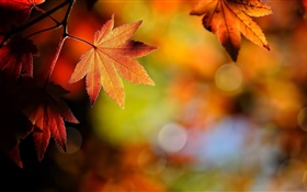 Maple leaves close-up, red, bokeh, autumn HD wallpaper