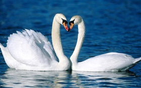 Mute swan, two white swans, lake HD wallpaper