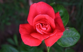 One red rose flower HD wallpaper