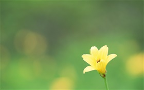 One yellow flower, green background HD wallpaper