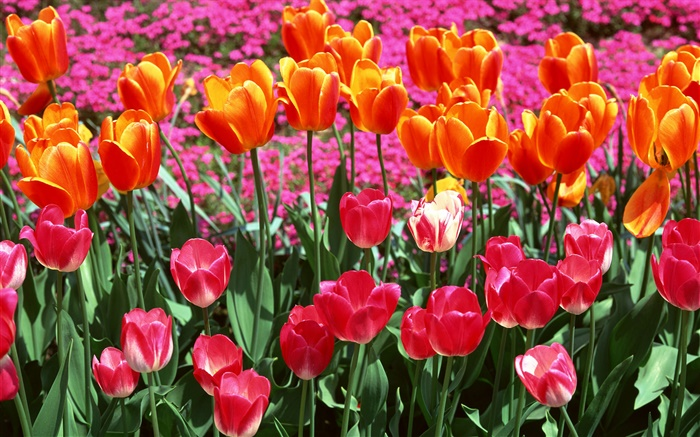 Orange and pink colors, tulip flowers Wallpapers Pictures Photos Images