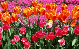Orange and pink colors, tulip flowers HD wallpaper