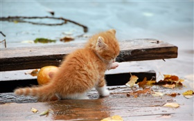 Orange kitten, autumn, leaves