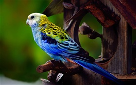 Pale-headed rosella bird HD wallpaper