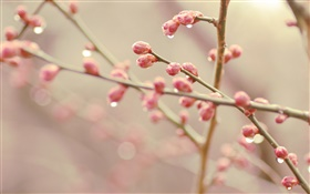 Peach flower buds, spring, twigs HD wallpaper