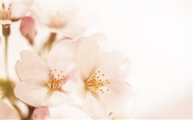 Peach flowers close-up, petals HD wallpaper