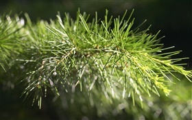 Pine tree, twig close-up HD wallpaper