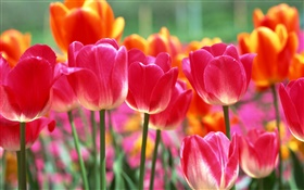 Pink and orange tulip flowers HD wallpaper