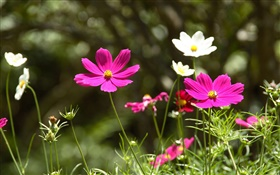 Pink and white cosmos bipinnatus flowers HD wallpaper