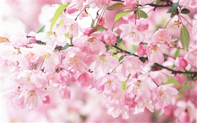 Pink cherry flowers, blurry HD wallpaper