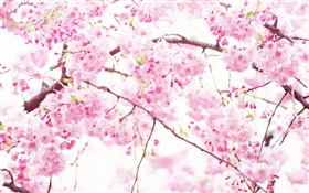 Pink cherry flowers, tree, spring HD wallpaper