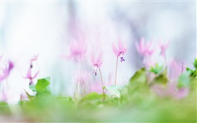 Pink flowers close-up, blurry background HD wallpaper
