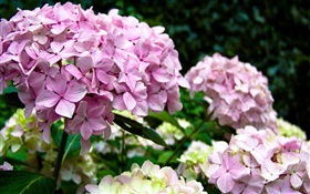 Pink hydrangeas HD wallpaper