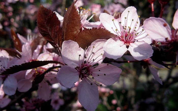 Pink plum flowers close-up Wallpapers Pictures Photos Images