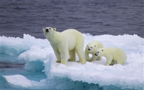 Polar bear and cubs, ice, cold HD wallpaper