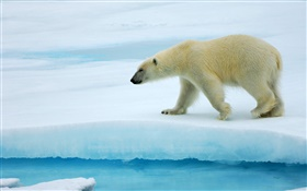 Polar bear walking on ice HD wallpaper
