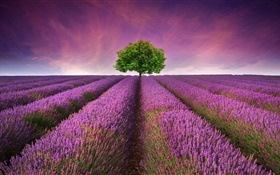 Purple lavender flowers field, tree HD wallpaper