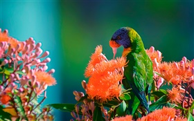 Rainbow lorikeet feeding nectar